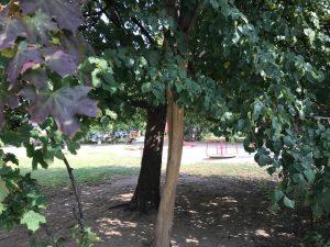 Medis nulupta žieve