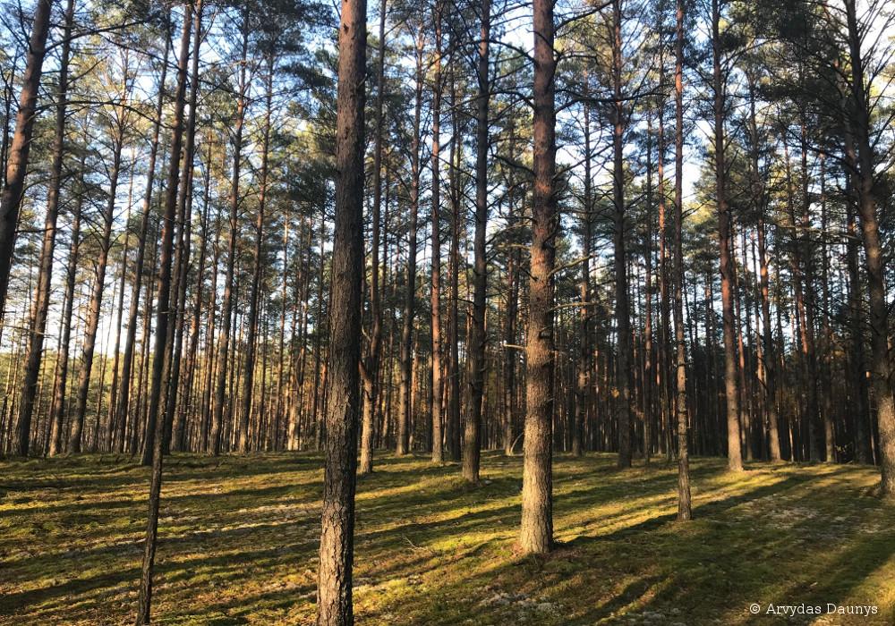 Miškas saulei leidžiantis