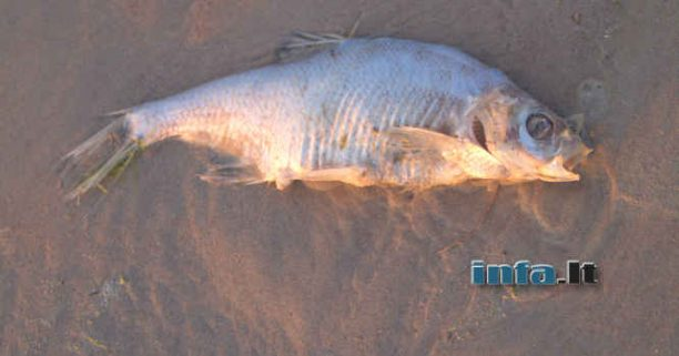 Padvėsusi žuvis ant kranto